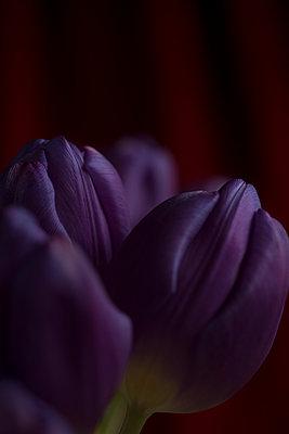Tulpe - p427m972736 von R. Mohr