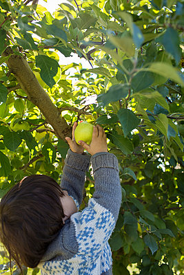 Picking Apples - p535m947674 by Michelle Gibson