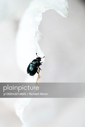 A pollen beetle on a white poppy petal - p1302m2214825 by Richard Nixon