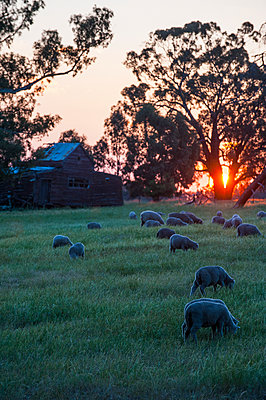 Sheeps grazing in the fields at sunset, Grampians National Park, Victoria, Australia - p300m2114880 by Michael Runkel