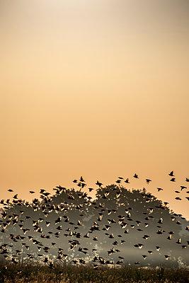 Starling flock in morning fog - p739m2116431 by Baertels