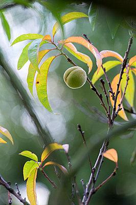 Pfirsich am Baum - p949m948600 von Frauke Schumann