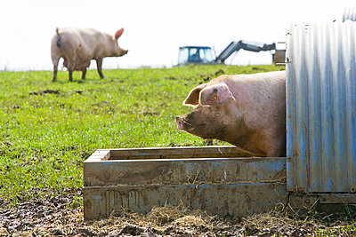 Pigs - p1057m1028460 by Stephen Shepherd