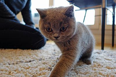 Kitten in living room - p1189m1218639 by Adnan Arnaout