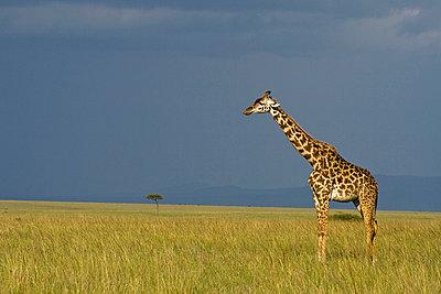 Giraffe - p5330213 by Böhm Monika