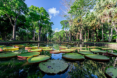 Mauritius, Sir Seewoosagur Ramgoolam Botanical Garden, leaves of Amazonas Giant Water Lily on pond, Victoria amazonica - p300m2023560 von Michael Malorny