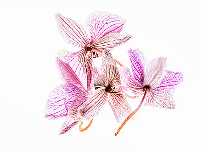 Dried Orchidblossoms - p401m2192542 by Frank Baquet