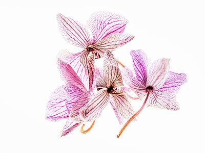 Getrocknete Orchideenblüten - p401m2192542 von Frank Baquet