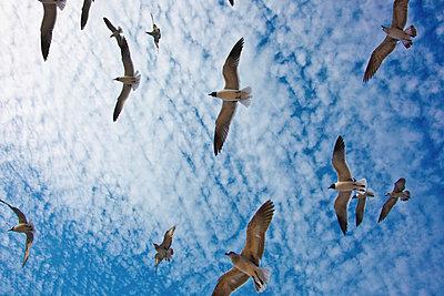 Birds flying in blue sky - p429m767938 by Yashoda photography