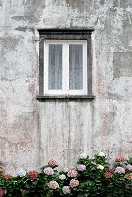 Hauswand mit Hortensien, Capelas, Azoren - p451m1072475 von Anja Weber-Decker