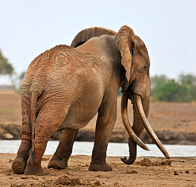 A large bull elephant at a waterhole in Tsavo East National Park. - p652m716804 by Nigel Pavitt