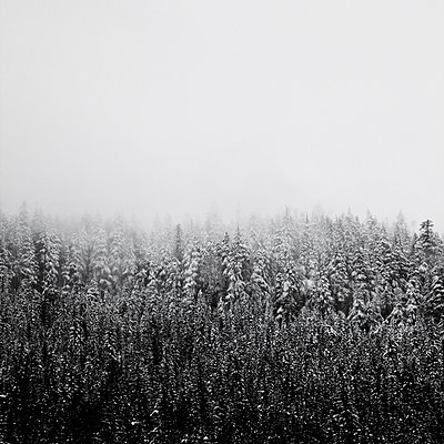 Evergreen Trees Covered in Snow During Snow Storm - p694m1403844 by David Atkinson