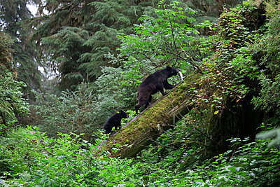 Black Bear female and cub with captured Pink Salmon prey - p884m863708 by Matthias Breiter