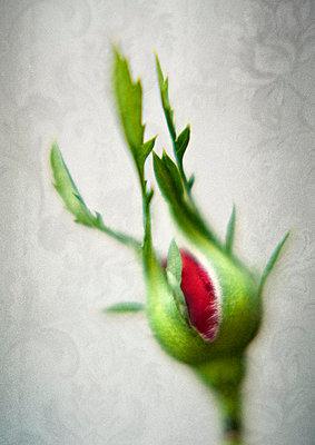 Rose bud - p971m823119 by Reilika Landen