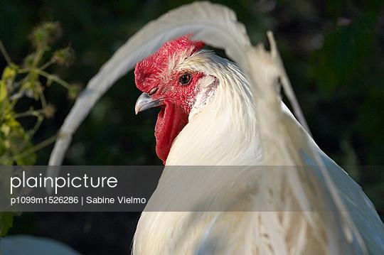 Ramelsloher Huhn - p1099m1526286 von Sabine Vielmo