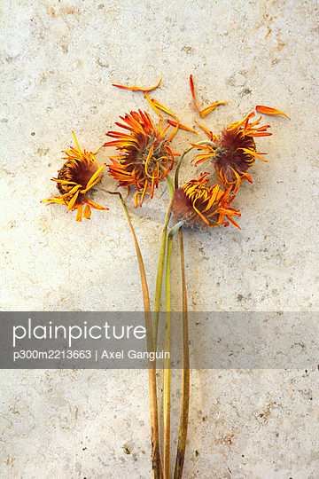 Withered flowers with orange petals, studio shot - p300m2213663 by Axel Ganguin