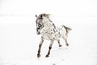 Pferd  galoppiert im Schnee - p966m890901 von Tobias Leipnitz
