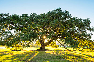 United States, Louisiana, Vacherie. Sunlight through the branches of a Southern Live Oak tree (Quercus virginiana). - p651m2007234 by Jason Langley photography