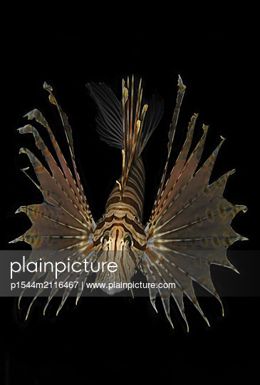 Lion Fish - p1544m2116467 by