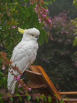 Cockatoo on wooden chair in garden in Katoomba, Australia - p1427m2128258 by WalkerPod Images