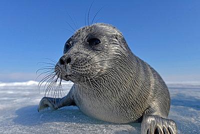Russia, Lake Baikal, Baikal seal on frozen lake - p300m1053198f by Gerald Nowak