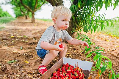 Little boy nibbling fresh strawberries - p1238m1461800 by Amanda Voelker