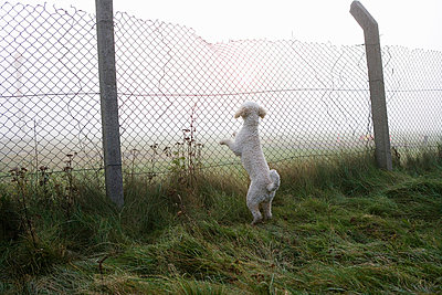 A Spanish Water Dog rearing up and leaning on a fence - p3017956f by Julia Christe