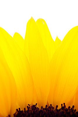Petals of a sunflower - p5862181 by Kniel Synnatzschke