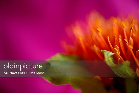 Protea - p427m2111309 by Ralf Mohr