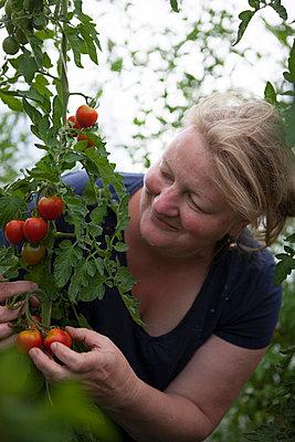 Reife Tomaten - p502m963442 von Tomas Adel