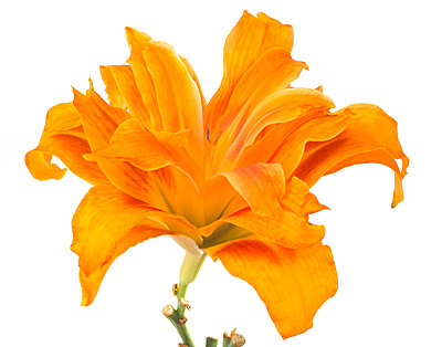 Orange Double Daylily against White Background - p694m2068575 by Lori Adams