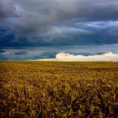 Wheat field under  a overcast - p813m924524 by B.Jaubert