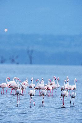 Flamingos  - p533m1152676 by Böhm Monika
