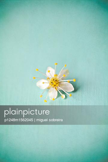 plainpicture - plainpicture p1248m1562045 - Small White Blossom - plainpicture/miguel sobreira