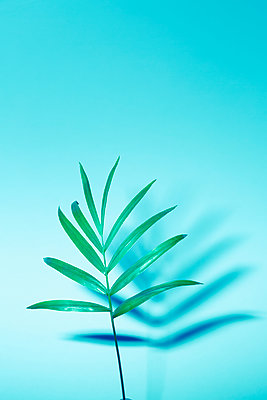 Palm frond, Chamaedorea elegans - p1149m1553126 by Yvonne Röder