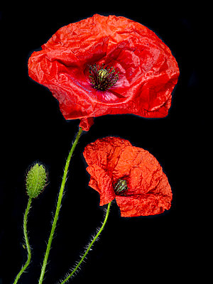 Poppy Blossoms - p401m2187131 by Frank Baquet