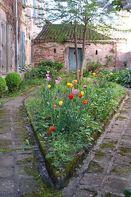 Tulips growing in garden - p675m922915 by Marion Barat