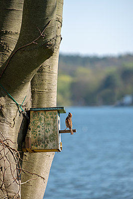 Sparrows inspecting nest box - p739m2077203 by Baertels