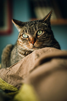 Portrait of tabby cat on couch - p300m1537209 by Ramon Espelt