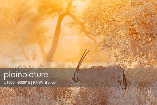 Eine Oryxantilope, Kalahari, Südafrika - p1065m982615 von KNSY Bande