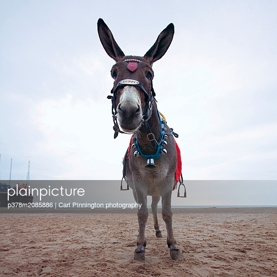 skippy at rest - p378m2085886 by Carl Pinnington photography