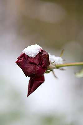 Snow on a Red Rose - p1307m1553049 by Agnès Deschamps