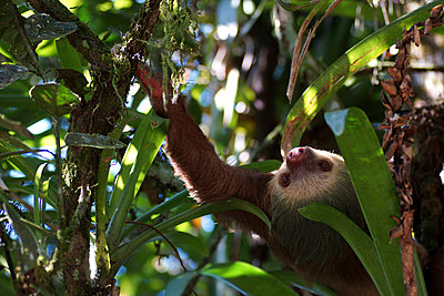 Three-toed sloth - p162m1025634 by Beate Bussenius