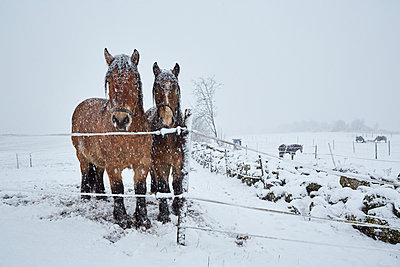 Horses on winter pasture - p312m1114085f by Jan Tove