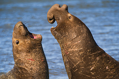 Northern elephant seals fighting, Mirounga angustirostris, Ano Nuevo State Reserve, California - p1100m875259 by Frans Lanting
