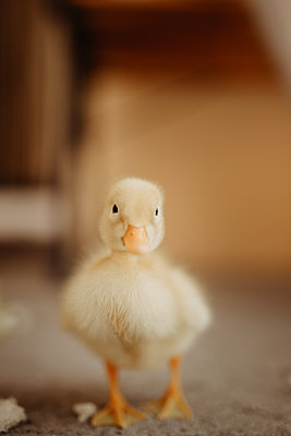Beautiful yellow baby duck portrait. - p1166m2200104 by Cavan Images