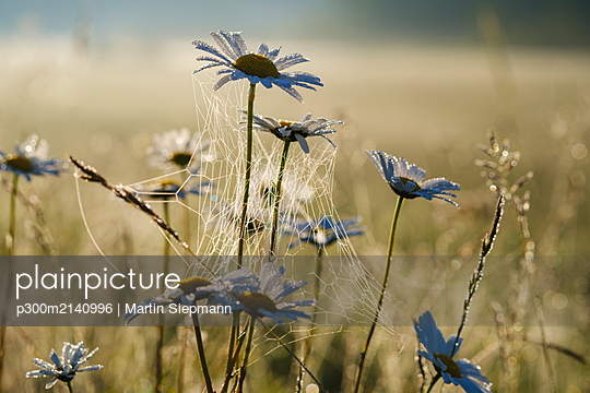 Close-up of spider web on wet daisies in meadow, Bavaria, Germany - p300m2140996 by Martin Siepmann