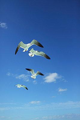 Seagulls - p045m792190 by Jasmin Sander