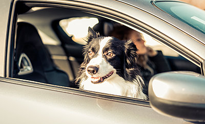 Woman driving car, dog sitting on passenger seat - p300m1115128f by OneInchPunch