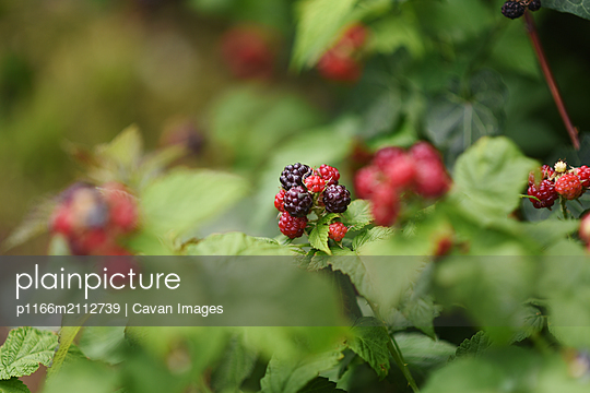 Close-up of raspberries growing on plants at farm - p1166m2112739 by Cavan Images